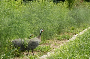 Guineas seeking shade in the asparagus patch