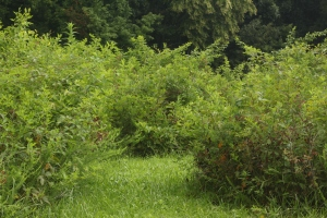 A cleared section of the blackberry patch maze