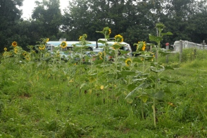 The sunflowers are getting tall