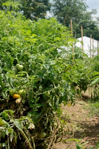 Tomatoes have been staked and are starting to color up, if only the chickens stay away long enough to let them!