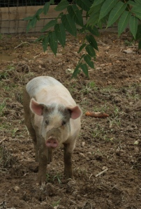 Resident pig
