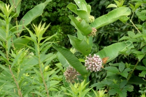 Milkweed in bloom, attracting the many types of butterflies here